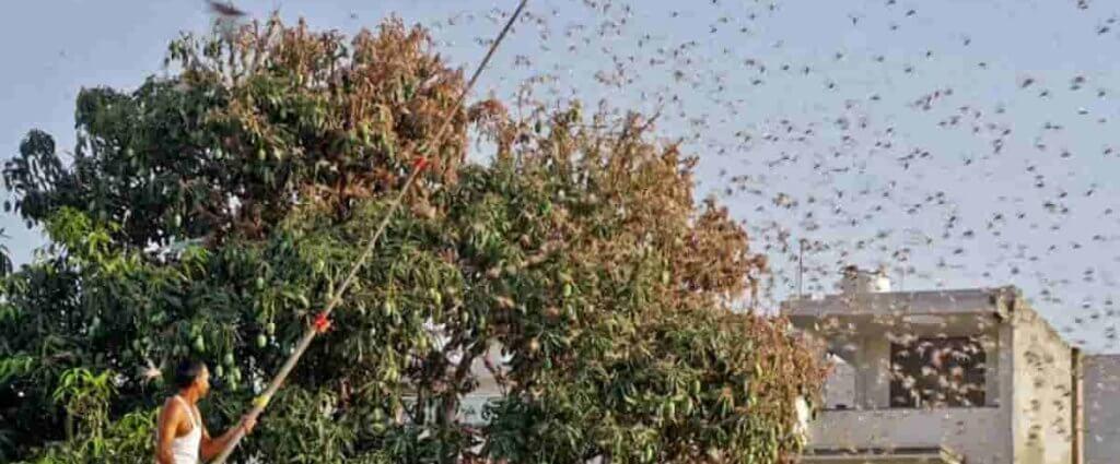 Odisha Locust Attack