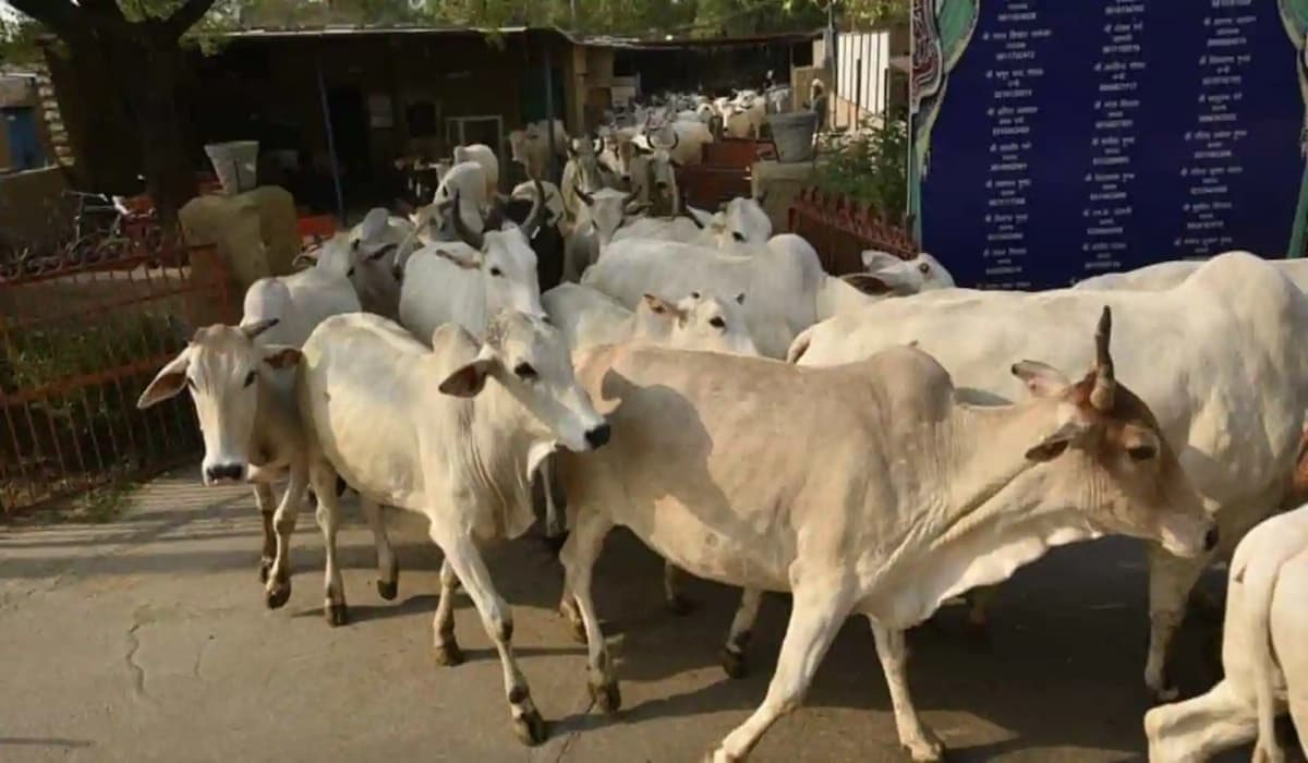 BJP Youth Leader caught in cow smuggling